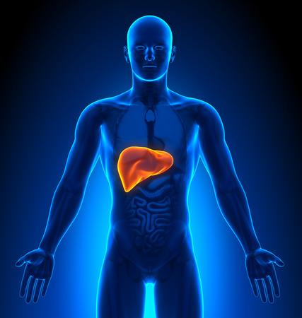 Medical Imaging - männlichen Organe - Leber- Standard-Bild - 41378306
