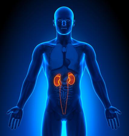 anatomia humana: Imágenes Médicas - Male Órganos - Riñones Foto de archivo