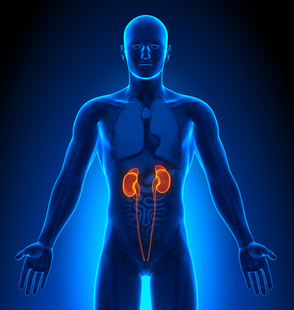 anatomie humaine: Imagerie m�dicale - Male organes - reins
