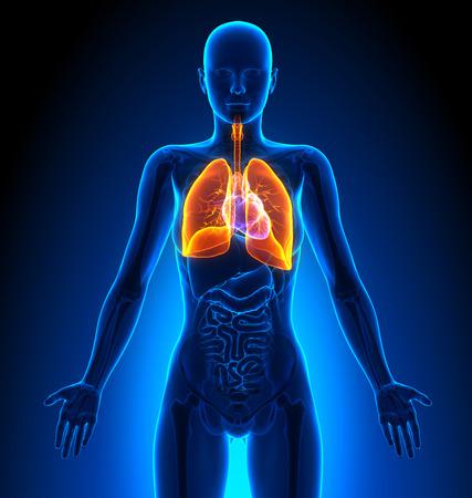肺 - 女性器官 - 人体解剖学
