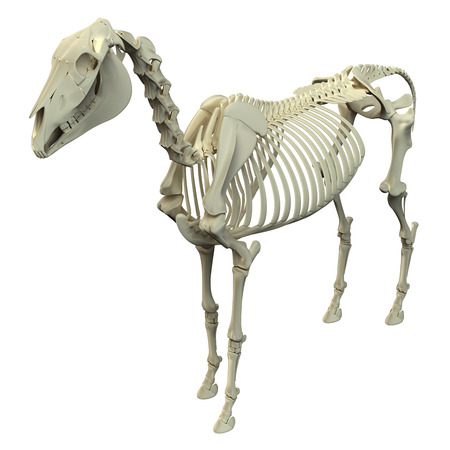 digestive anatomy: Horse Skeleton - Horse Equus Anatomy - isolated on white Stock Photo