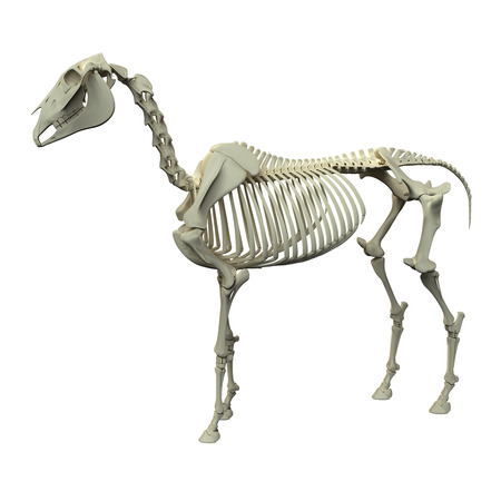 squelette: Cheval Skeleton - Cheval Equus Anatomie - vue de côté isolé sur blanc