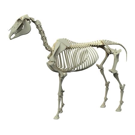 Horse Skeleton - Horse Equus Anatomy - side view isolated on white Stock Photo