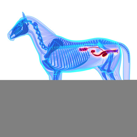 urinary system: Horse Urinary System - Horse Equus Anatomy - isolated on white
