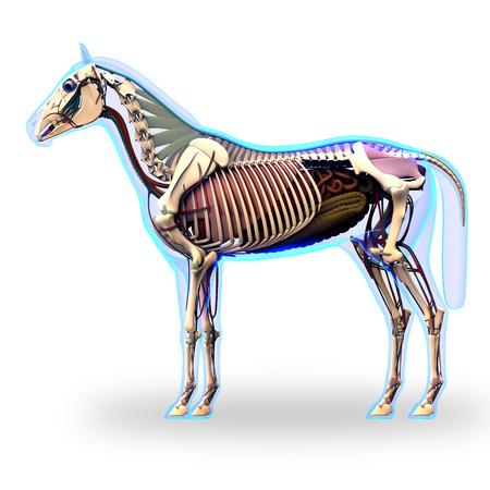 白で隔離臓器 - エクウス馬の解剖学 - 馬スケルトン側ビュー 写真素材