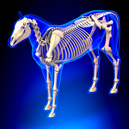 sternum: Horse Skeleton - Horse Equus Anatomy - on blue background
