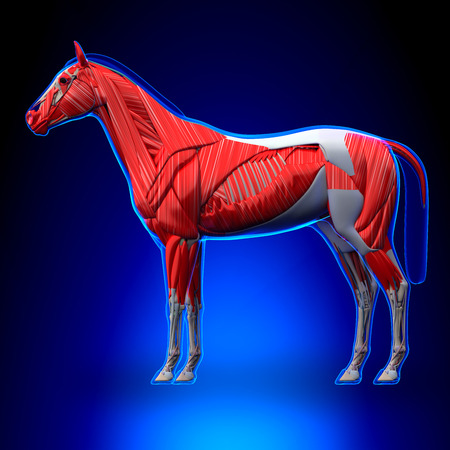 Horse Muscles - Horse Equus Anatomy - on blue background 스톡 콘텐츠