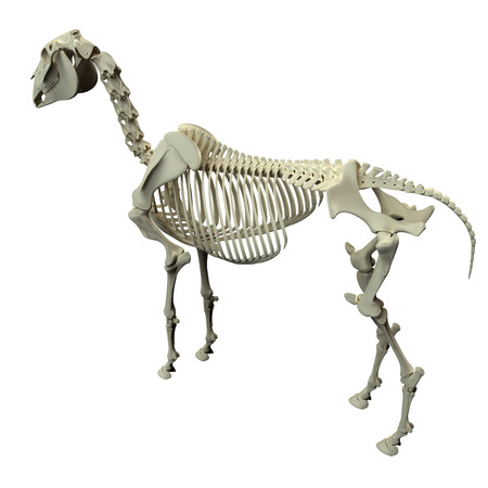 mandible: Horse Skeleton Back View - Horse Equus Anatomy - isolated on white Stock Photo