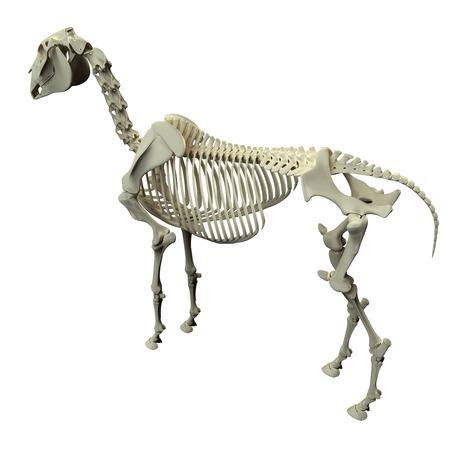 caudal: Horse Skeleton Back View - Horse Equus Anatomy - isolated on white Stock Photo