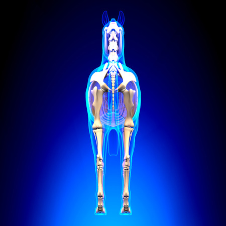 patella: Horse Skeleton Back View - Horse Equus Anatomy - on blue background Stock Photo