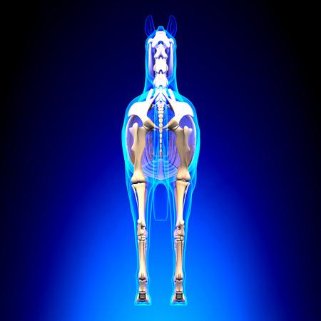 Horse Skeleton Back View - Horse Equus Anatomy - on blue background Stock Photo
