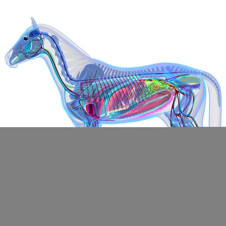 anatomia: Caballo Anatomía - Anatomía interna de un caballo