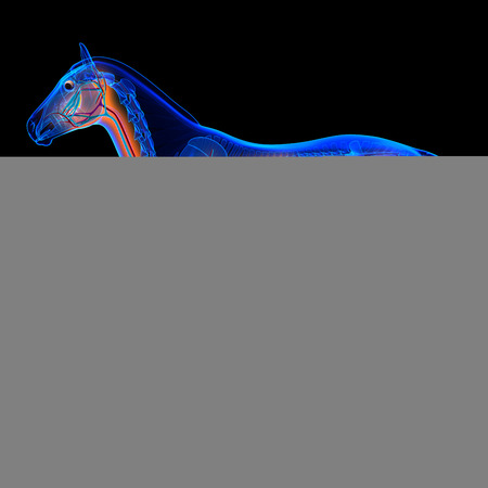 Horse Heart with Circulatory System - Horse Equus Anatomy on black background