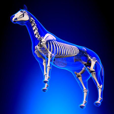 radius ulna: Horse Skeleton - Horse Equus Anatomy - on blue background