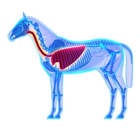 馬胸郭 - エクウス馬の解剖学 - 白で隔離