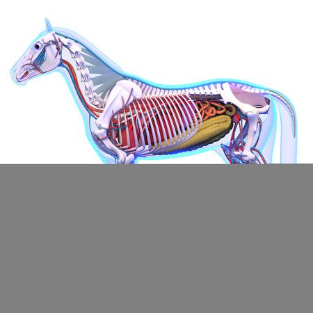 sistema digestivo: Caballo Anatomía - Anatomía interna del caballo aislado en blanco