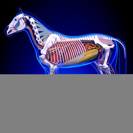 cecum: Horse Anatomy - Internal Anatomy of Horse
