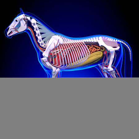 Horse Anatomy - Internal Anatomy Of Horse Stock Photo, Picture And ...