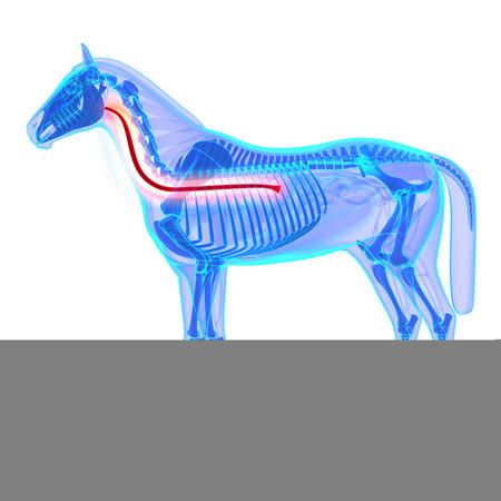 esófago: Caballo Esófago - Caballo Equus Anatomía - aislado en blanco