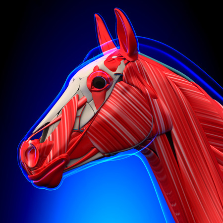 depressor: Horse Head Muscles - Horse Equus Anatomy - on blue background