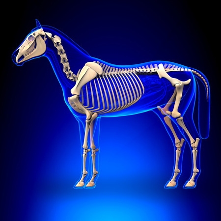 cabeza de caballo: Caballo Esqueleto - Caballo Equus Anatomía - sobre fondo azul
