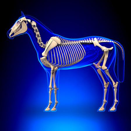 Caballo Esqueleto - Caballo Equus Anatomía - sobre fondo azul