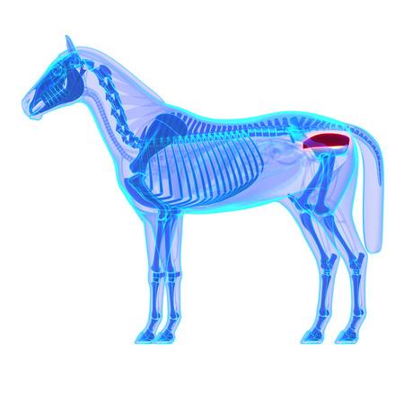 rectum: Horse Rectum - Horse Equus Anatomy - isolated on white