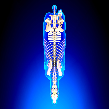 mandible: Horse Skeleton Top View - Horse Equus Anatomy - on blue background