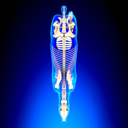 skeleton: Horse Skeleton Top View - Horse Equus Anatomy - on blue background