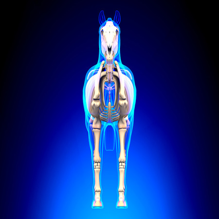 sternum: Horse Skeleton Front View - Horse Equus Anatomy - on blue background Stock Photo