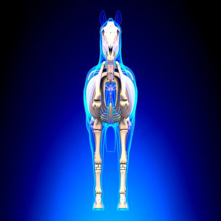 Horse Skeleton Front View - Horse Equus Anatomy - on blue background Stock Photo