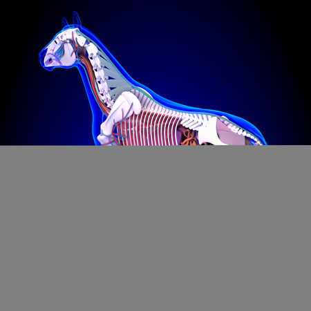 Pferd Anatomie - Innere Anatomie Des Pferderückansicht Auf Blauem ...