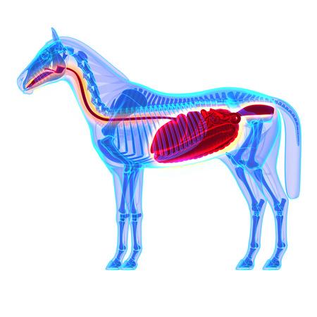 esophagus: Horse Digestive System - Horse Equus Anatomy - isolated on white