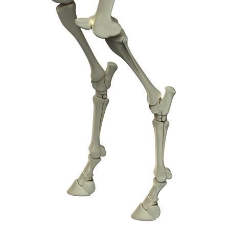 Horse Hind Leg Bones - Horse Equus Anatomy - isolated on white Stock Photo