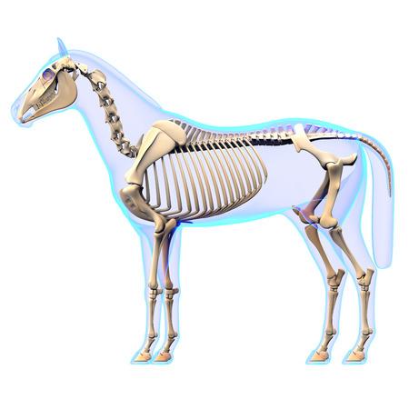caballo: Caballo Esqueleto Vista lateral - Caballo Equus Anatomía - aislado en blanco