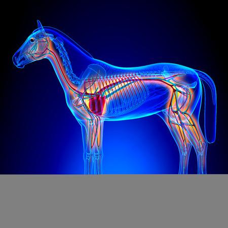 anatomia: Corazón del caballo con el Sistema Circulatorio - Caballo Equus anatomía sobre fondo azul