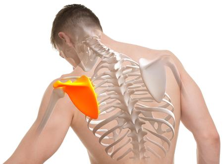 scapula: Scapula Man Anatomy isolated on white