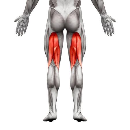 ハムストリングスの男性筋肉解剖筋白 - 3 D イラストレーションで隔離 写真素材