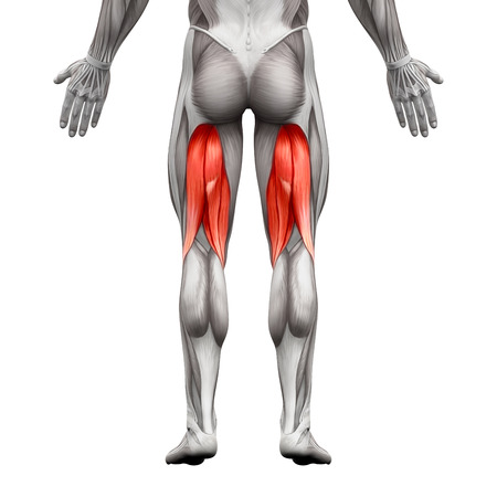 male chest: Hamstrings Male Muscles - Anatomy Muscle isolated on white - 3D illustration