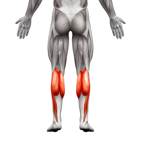 plantar: Calf Muscle Male - Gastrocnemius, Plantar Anatomy Muscle - isolated on white - 3D illustration