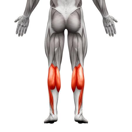 fu�sohle: Kalb Muskel Male - Gastrocnemius, Plantar Anatomie Muskel - isoliert auf wei� - 3D-Darstellung