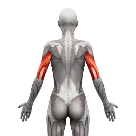 lateral view: Triceps Muscles - Anatomy Muscles isolated on white - 3D illustration