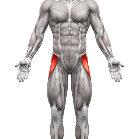 tensor: Tensor Fasciae Latae Muscle - Anatomy Muscles isolated on white - 3D illustration