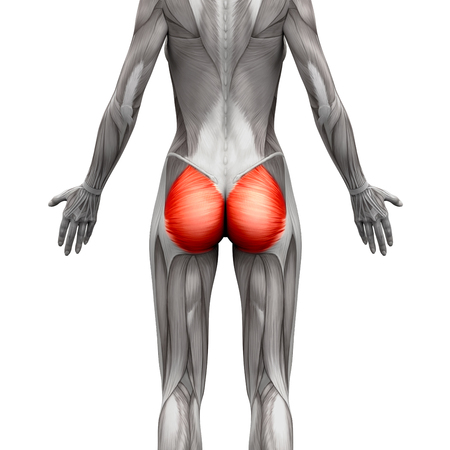 Glutealmuskulatur / Gluteus Maximus - Anatomie Muskeln Isoliert Auf ...