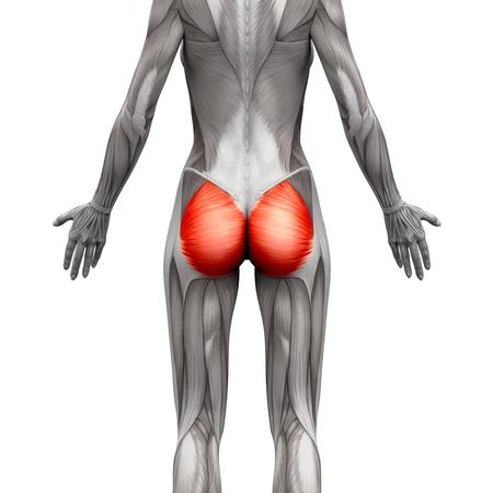 sexo femenino: Los músculos de los glúteos  glúteo mayor - Músculos anatomía aislados en blanco - ilustración 3D
