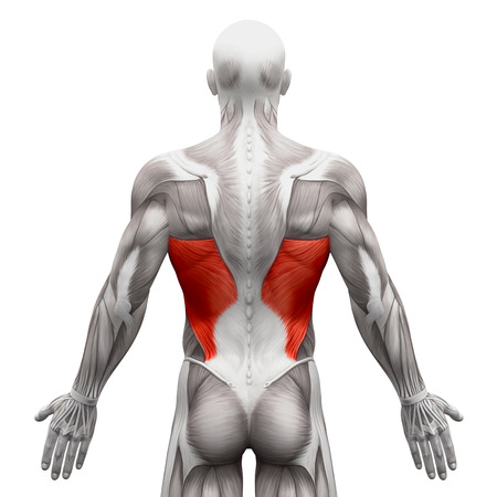 dorsi: Latissimus Dorsi - Anatomy Muscles isolated on white - 3D illustration