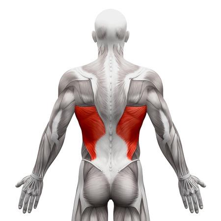 dorsi: Latissimus Dorsi - Anatomy Muscles isolated on white - 3D illustration