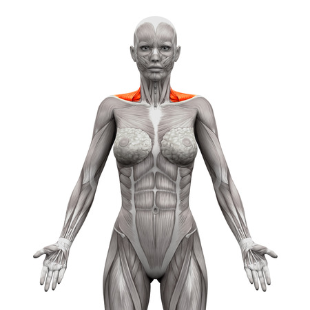 woman standing back: Trapezius Front Neck Muscles - Anatomy Muscles isolated on white - 3D illustration