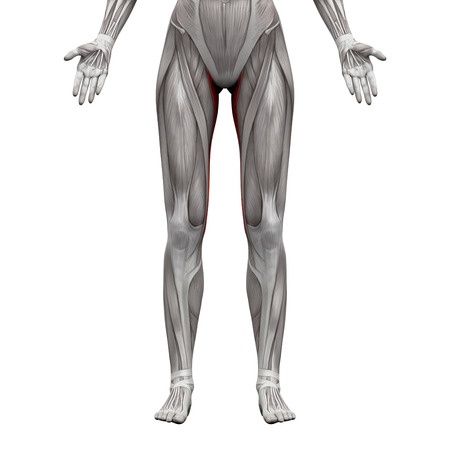 Gracilis Muscle - Anatomy Muscles Isolated On White - 3D ...
