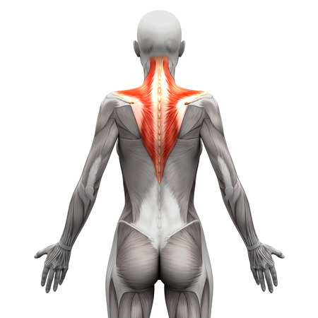 woman back of head: Trapezius Muscle - Anatomy Muscles isolated on white - 3D illustration